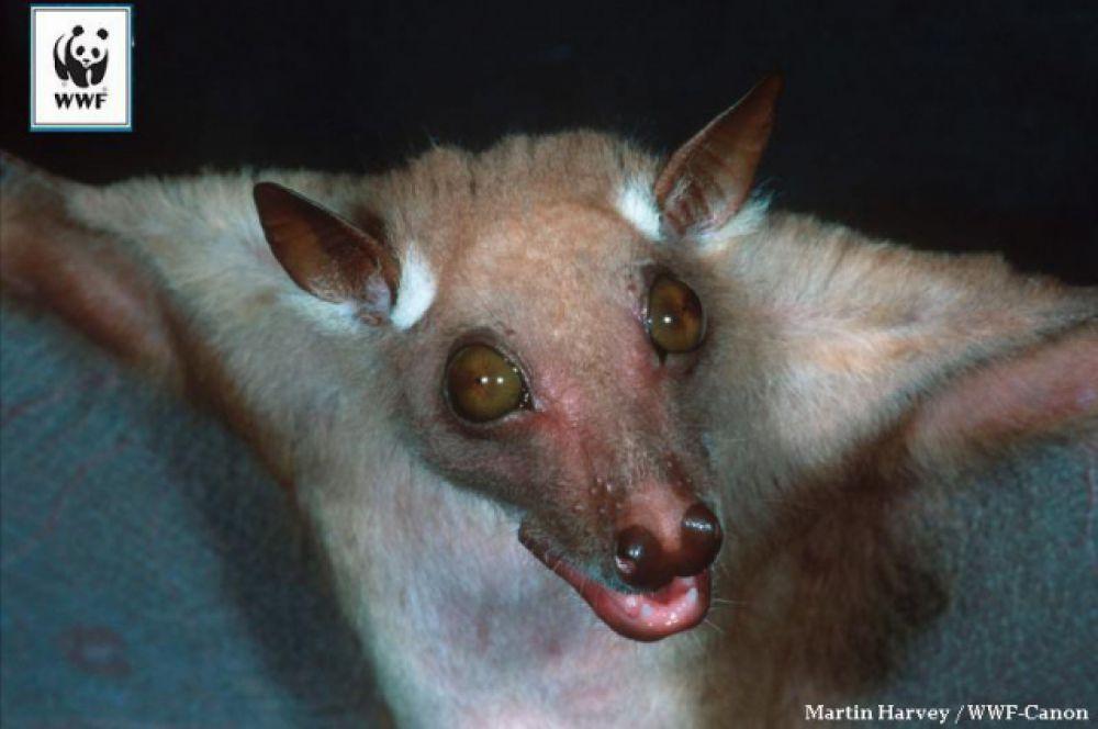Малый ангольский крылан. Крыланы – не летучие мыши. Их называют летучими собаками. Почему у них такие большие глазки (не сказать, что симпатичные…)? Потому что в отличие от летучих мышей, крыланы при перемещении полагаются не на эхолокацию, а на зрение и слух.
