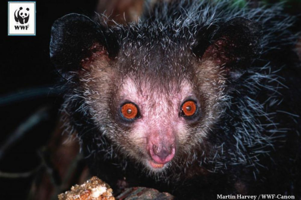 Айе-айе живет на Мадагаскаре и немного напоминает домашнего эльфа Добби из книг о Гарри Потере. Природа дала этому примату зубы, как у грызуна, и длинный средний палец, которым он добывает себе пищу так же, как дятел клювом. Айе-айе находится в опасности – не только потому, что разрушаются леса, в которых он живет, но и из-за предрассудков местных жителей. Древняя малагасийская легенда гласит, что айе-айе – символ смерти, и человеку, который встретил айе-айе в лесу, грозит гибель.