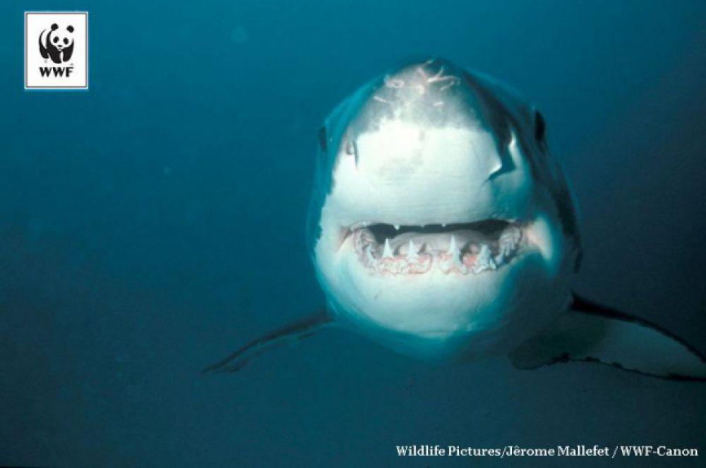Большая белая акула, или акула-людоед. Ее длина обычно превышает 4 метра, а мощь челюстей в сочетании с острыми зубами делает ее укус фатальным для большинства жертв.