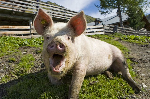 Заражнная свинья