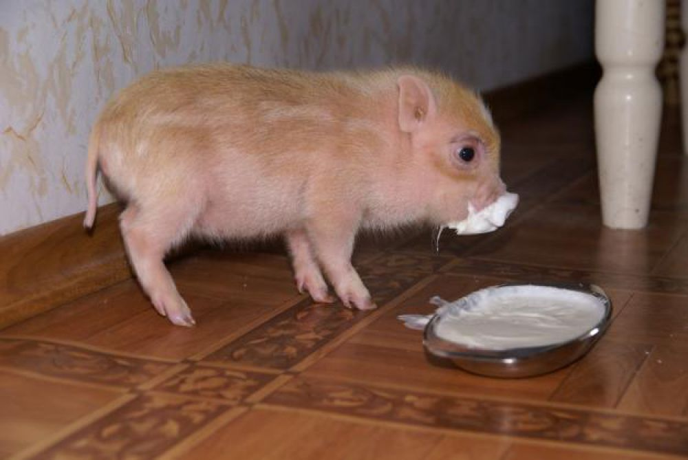 Мини-пиги отлично подойдут тем, кто испытывает нехватку общения, ведь визжащая свинка постоянно будет требовать к себе внимания