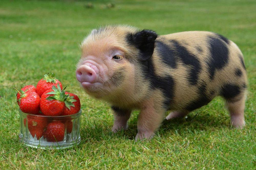 Мини-пиги (или карликовая свинья) – удивительные хрюкающие животные, стоимость которых колеблется от $300 до $2 тыс. Такие поросята очень популярны в США и странах Европы