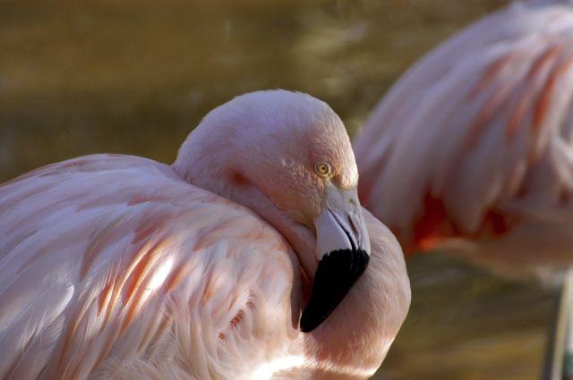 Розовый фламинго.