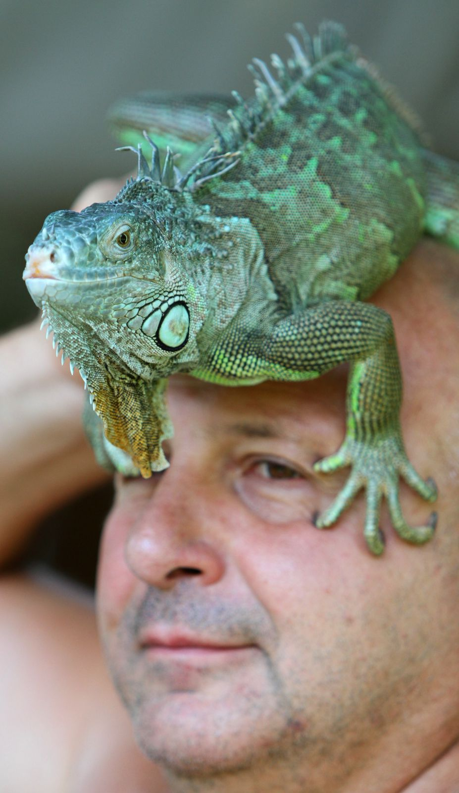 Игуана – крупная растительноядная ящерица, обитающая в Центральной и Южной Африке