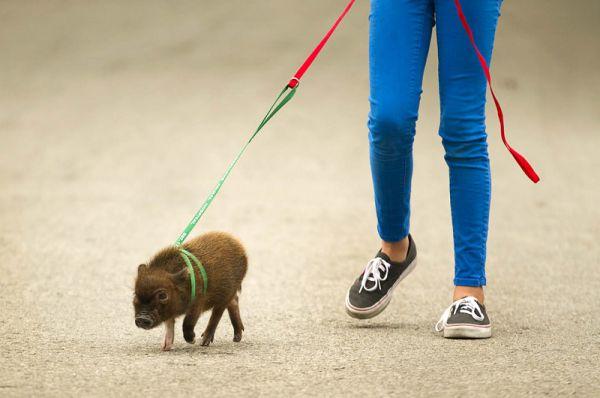 Вес одного взрослого мини-пиги достигает максимум 10 кг