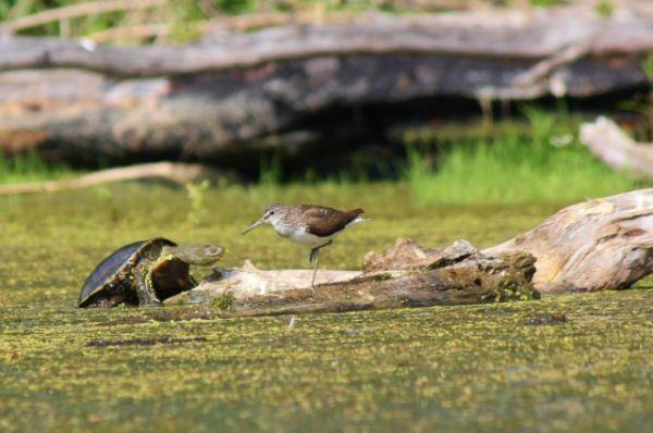 Кулик черныш и европейская болотная черепаха.