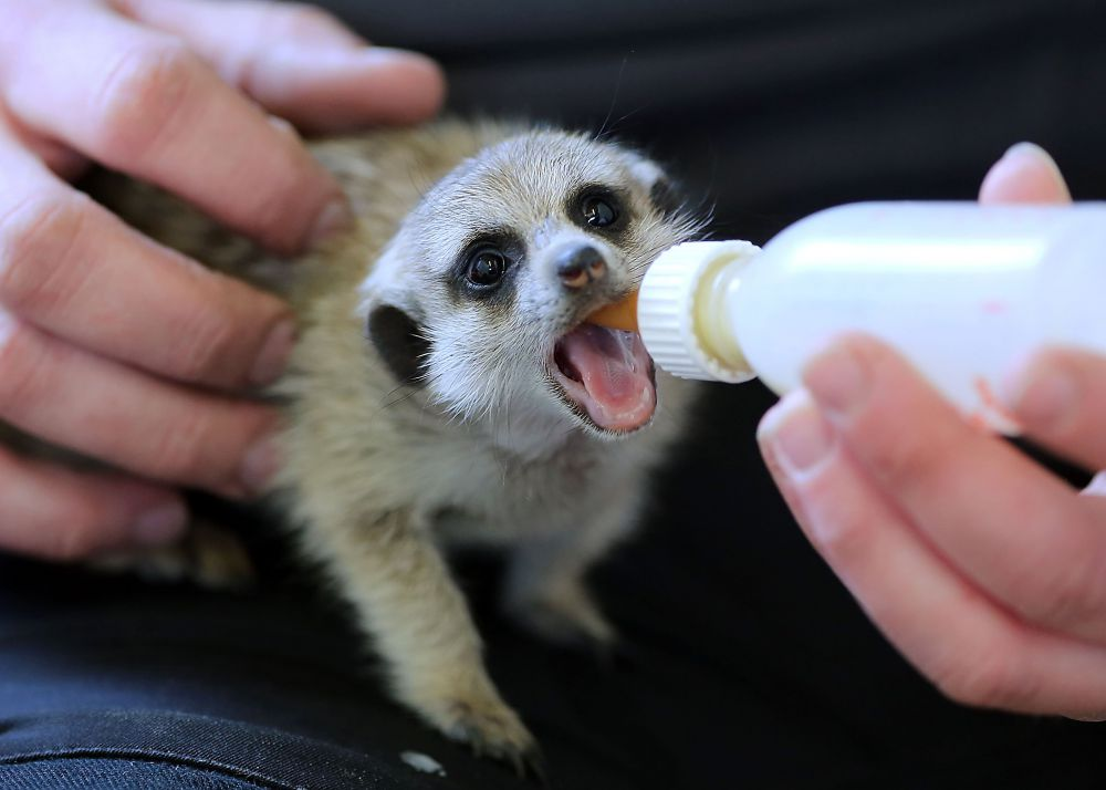 Родина сурикатов – Южная Африка. Этот вид млекопитающих семейства мангустовых любит строить колонии из норок