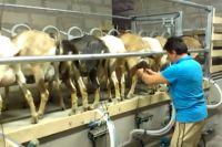 Козья ферма в Ростовской области - успешный проект фермера