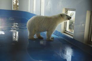 Белый медвежонок привезенный в