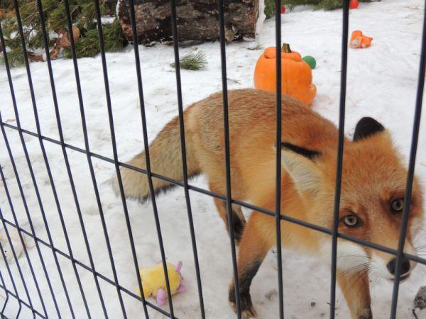 Подкидыш, лисица Майя, заметно выросла с весны.