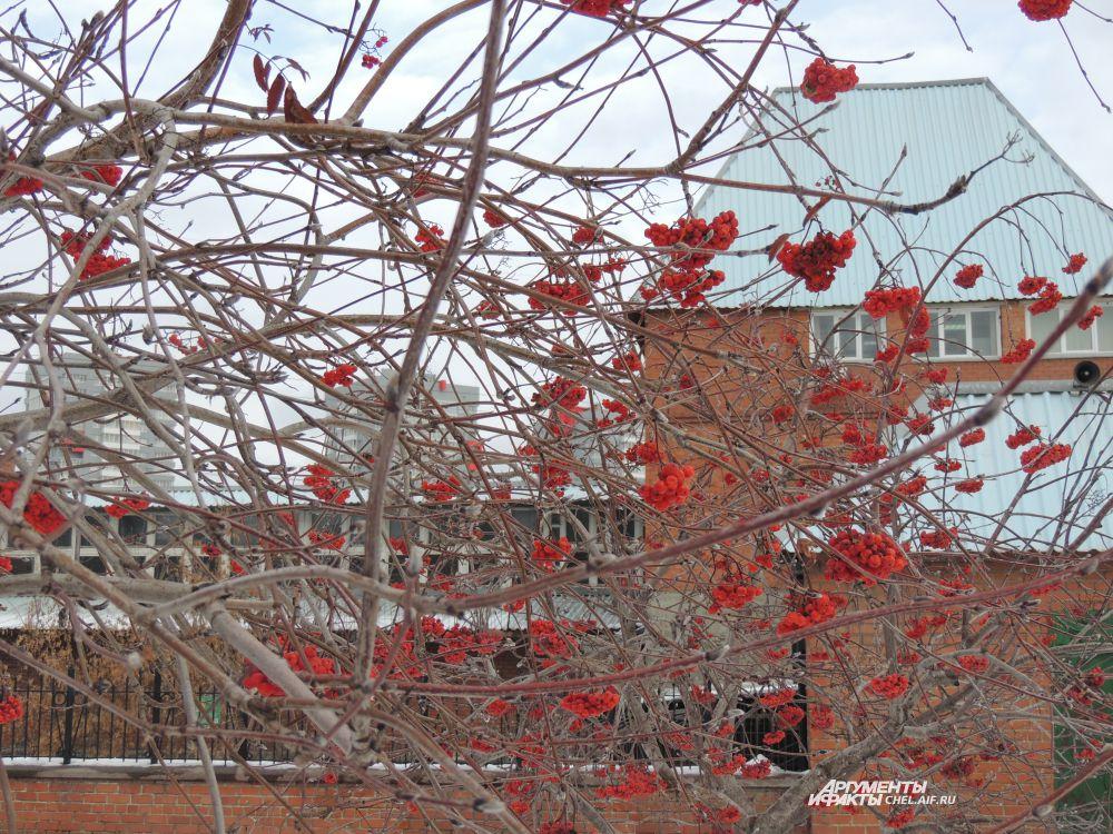 Такими яркими гроздья рябины бывают только зимой.