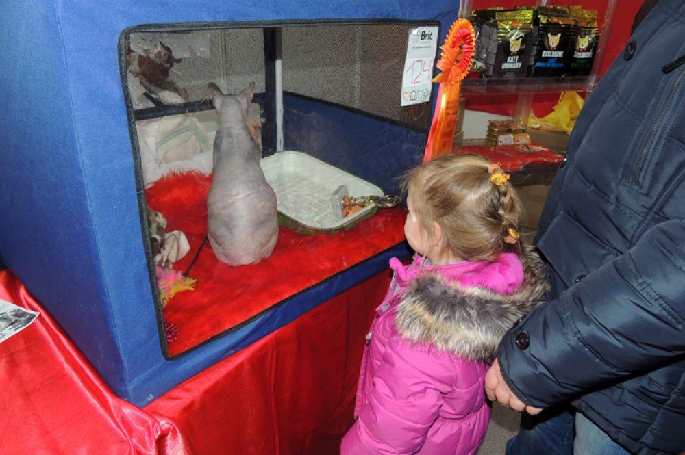 Сфинксы всегда немного высокомерно относятся к посетителям.