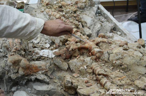 По строению костей видно, что динозавр, оказавшийся сверху, не достиг половой зрелости.