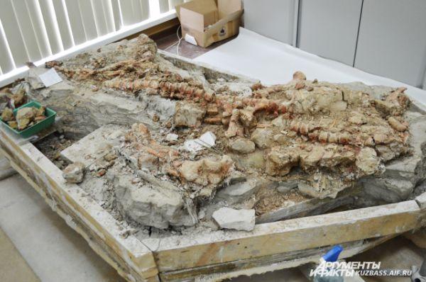 Несколько окаменевших скелетов переплетены друг с другом. Погибая под оползнем, динозавры падали один на другого. Это одна из недавних находок. Её сделали практически под конец сезона.