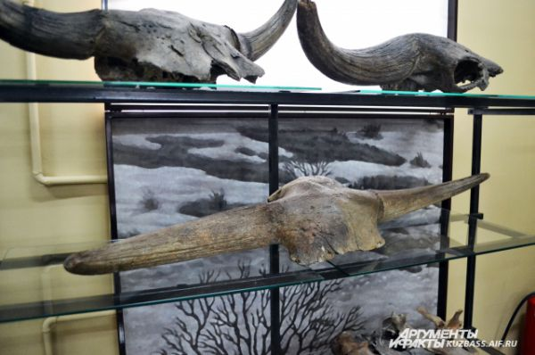 Рога и части черепов древних бизонов – эти находки у работников карьеров самые частые.