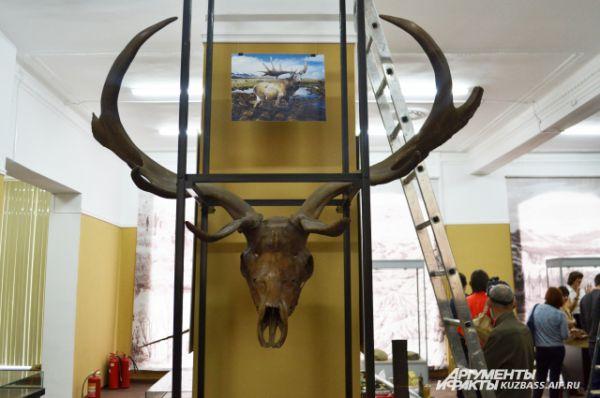 Размах рогов этого древнего оленя мог достигать 3,5 м. В борьбе за самку самцы с особо ветвистыми рогами могли сплестись ими буквально намертво и погибнуть вдвоём.