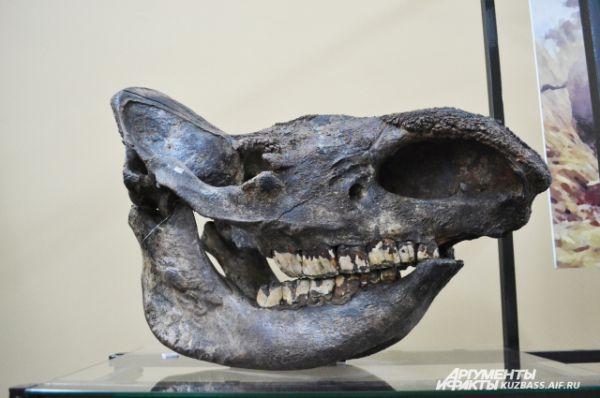 Экспонатам мамонтовой эпохи 40-50 тыс. лет. Череп шерстистого носорога.