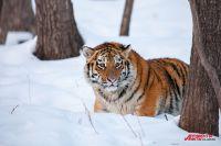 Тигр ушёл туда, где есть снег.