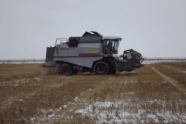 Убирать зерно пришлось уже в снегу.
