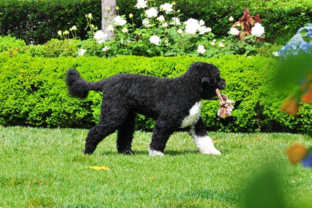 У главы Белого Барака Обамы дома тоже есть четвероногий друг – португальская водяная собака по кличке Бо. Это весёлый и игривый пёс благородного окраса. Журналисты даже как-то сравнили чёрно-белый окрас животного с изысканным смокингом.