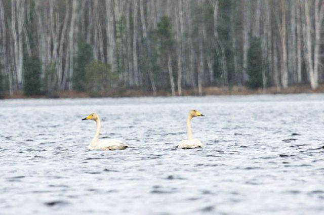 За Лебединые озера ученые боролись 5 лет.