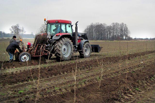 С каждого гектара фермер планирует получить по 70-80 тонн яблок.