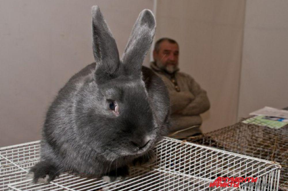 Серые великаны и советские шиншиллы. В Омске прошла выставка кроликов.