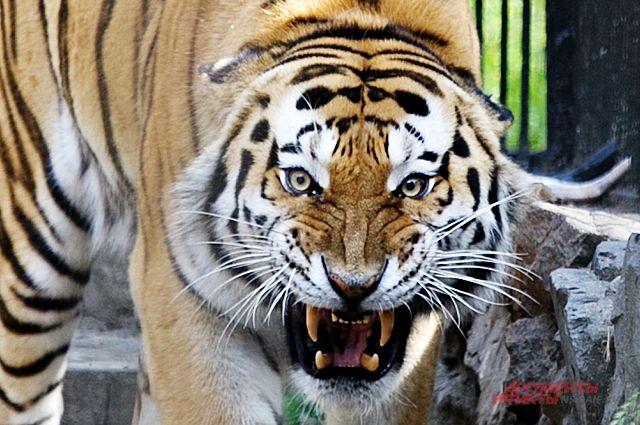 Тигр - опасный и коварный хищник.