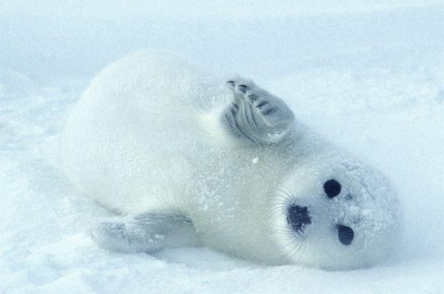Не стреляйте в тюленей!