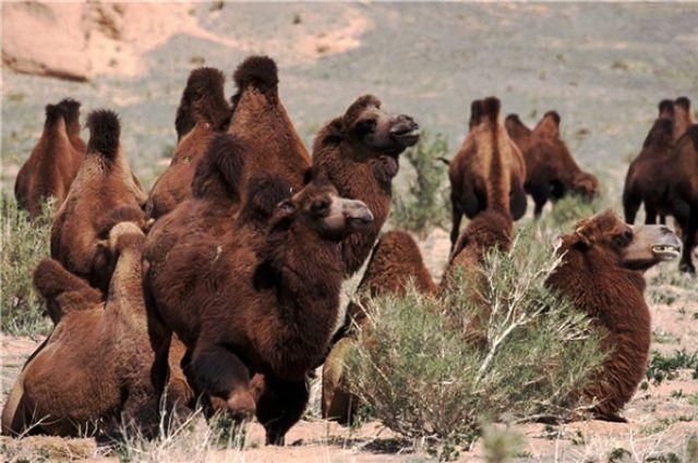 Разведение верблюдов играет важную роль в экономике Монголии.