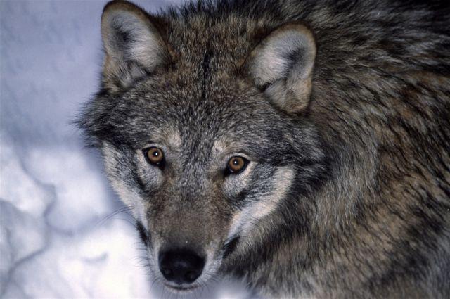 Волки изгнали Масаню из своей стаи.