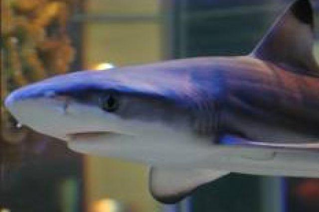 Рифовая акула испугалась повышенного внимания людей.