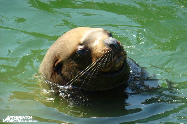 Медицинскую процедуру морской лев, которому уже исполнилось 24 года, практикует ежедневно.