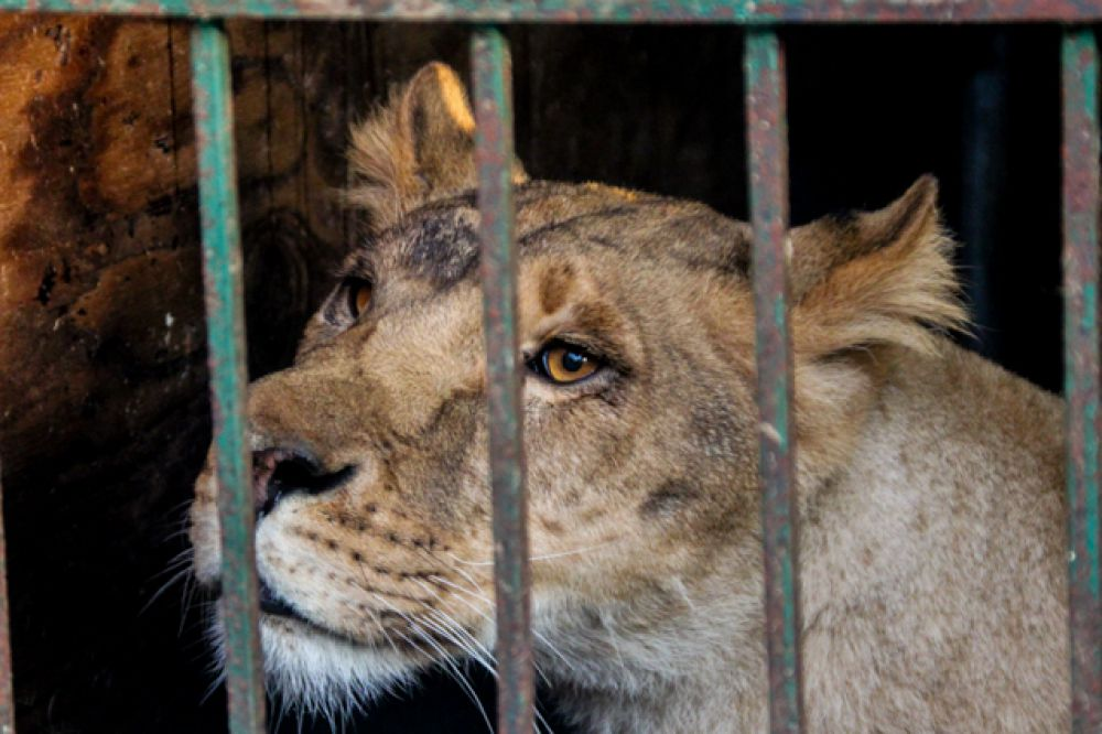 Мама львят Сабари уже не сможет ухаживать за своими котятами. Их не вернут в ее вольер.
