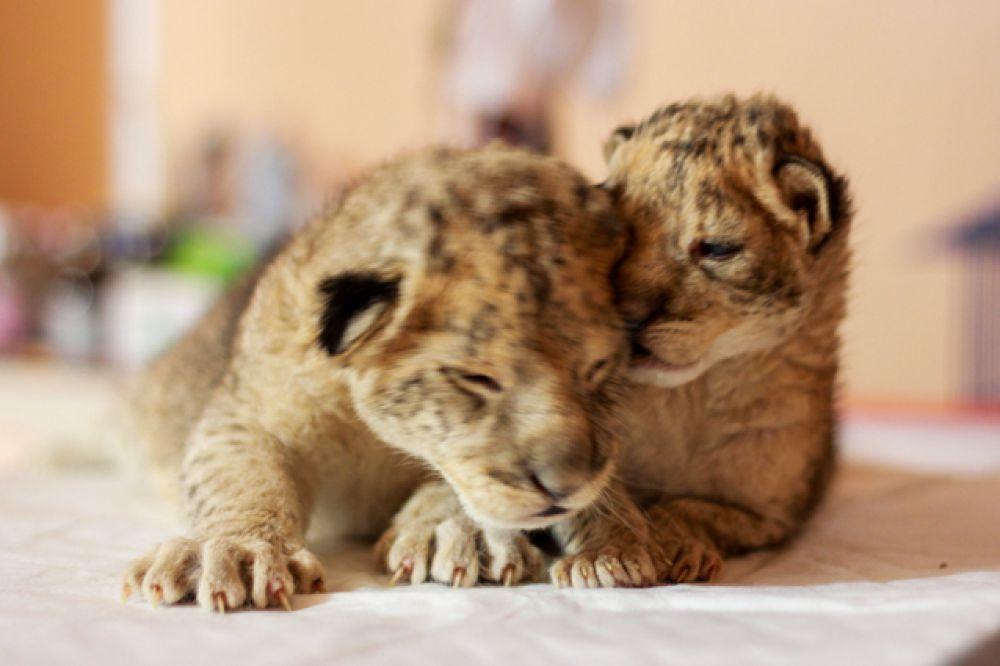 Львенок Ябрик почти в два раза больше сестры.