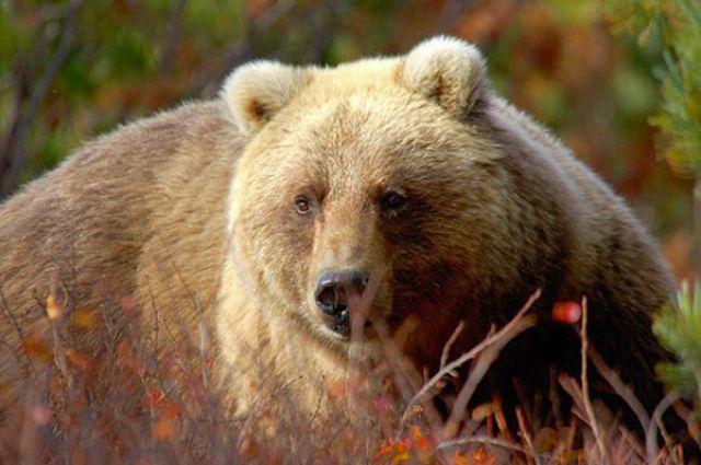 Медведь не только опасный хищник, но и разносчик вирусных болезней.