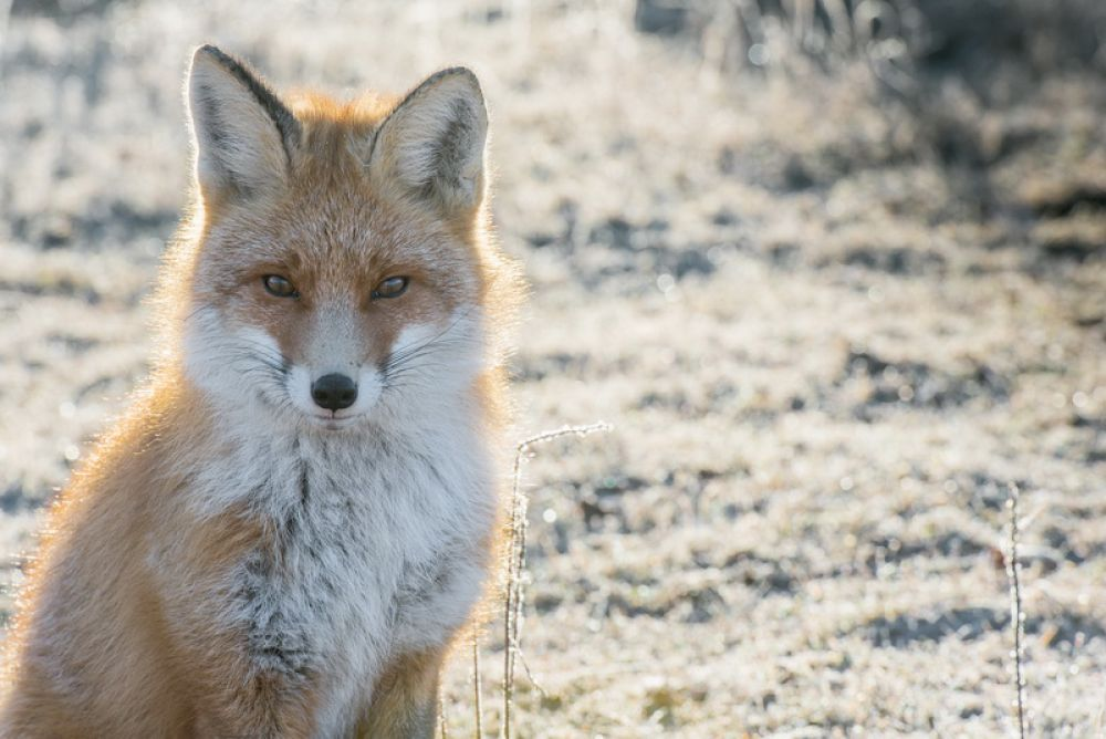 Они утверждают, что лис, в силу своего характера, очень вороват. Он уже съел несколько пар обуви и разбросал по кордону картофель и морковь.