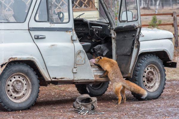 Теперь Патрикею приходится делиться добычей с котом Дымком, который тоже живёт на кордоне.