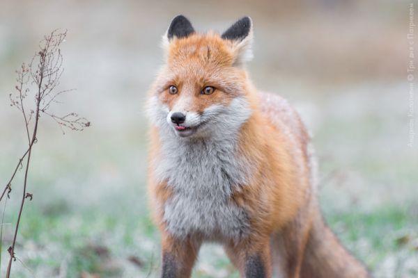 Правда, поначалу инспекторы заповедника думали, что к цивилизации вышел не лис, а лисица.