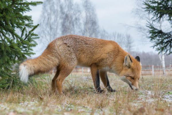 Сотрудники заповедника назвали лиса Патрикеем, в честь его сказочных сородичей.