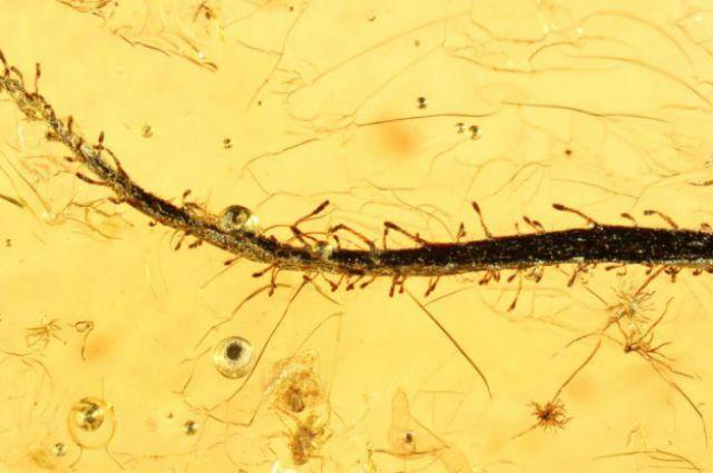 Внутри янтарика видны даже волоски на листьях, с помощью которых растение ловит добычу. Фото Alexander R. Schmidt, University of Göttingen