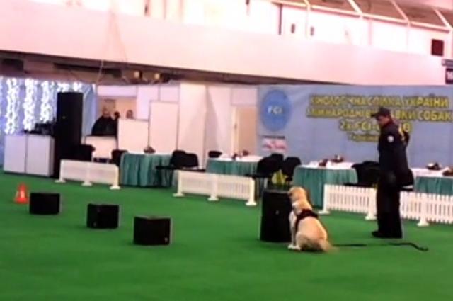 Как служебные собаки ищут взрывчатку