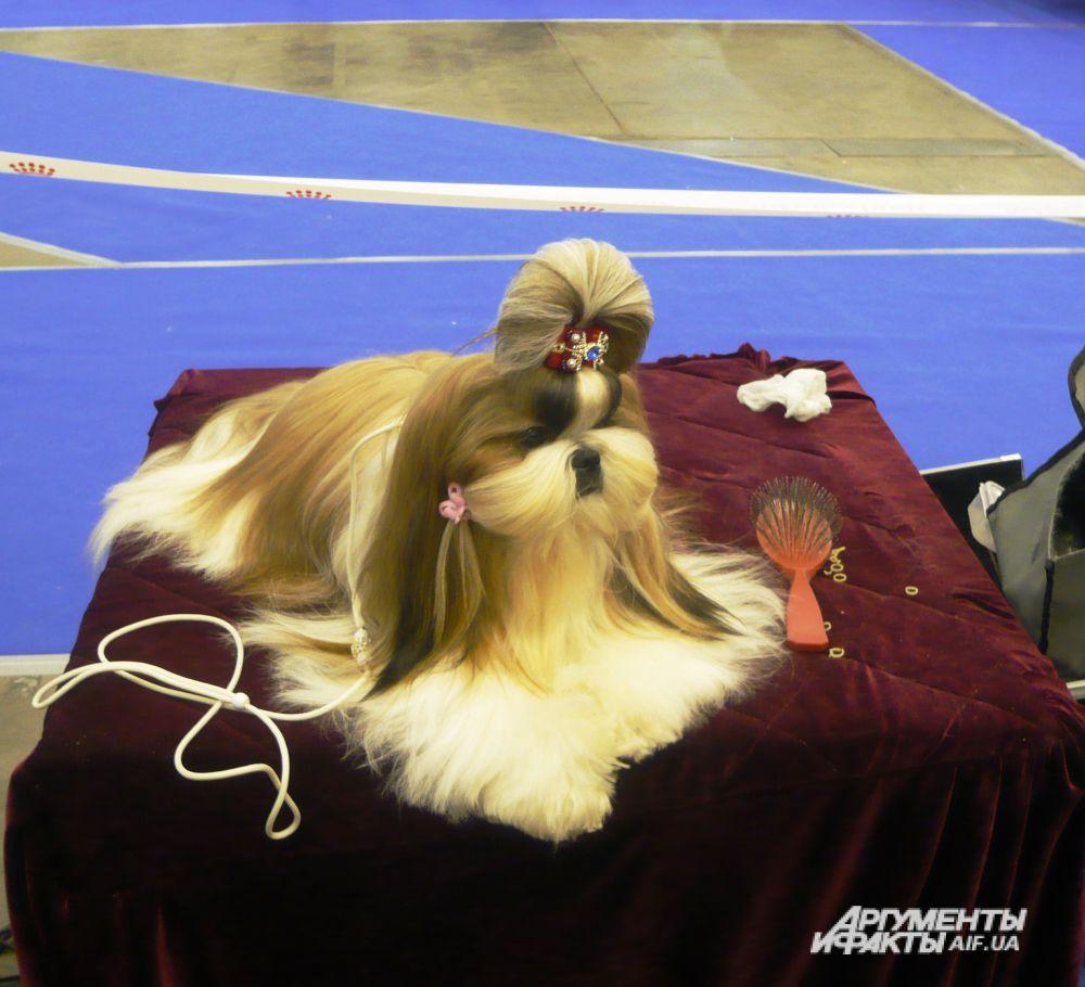 Царица ши-тцу: «Вообще-то меня называют собакой-хризантемой, но быть царицей тоже приятно»