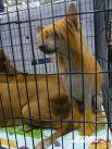 Львенок в клетке: «Вам львы внушают страх? Посмотрите на меня – я ведь милый «одуванчик»