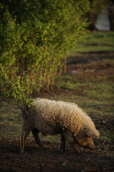 Свинья породы «венгерская мангалица».