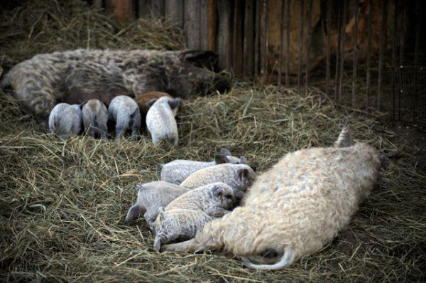 Свиньи породы «венгерская мангалица».