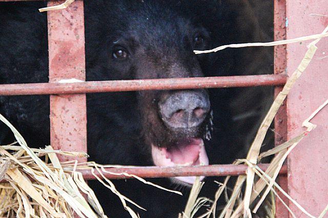 Медведь по кличке Тишка теперь в безопасности и готовится к спячке.