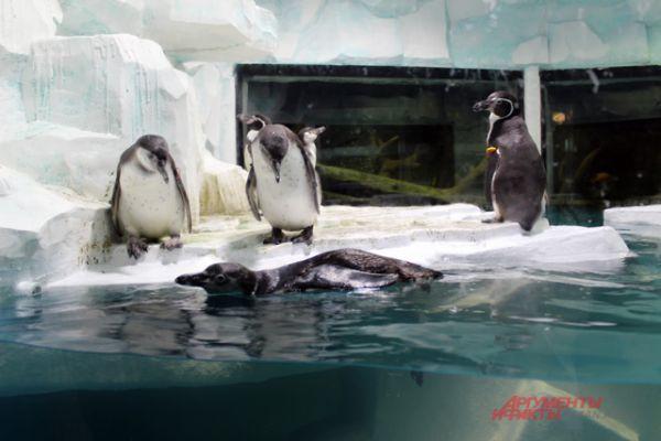 Пингвины Гумбальдта.