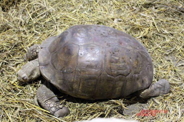 Сухопутная черепаха.