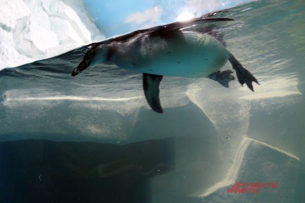 Пингвины резвятся в бассейне.